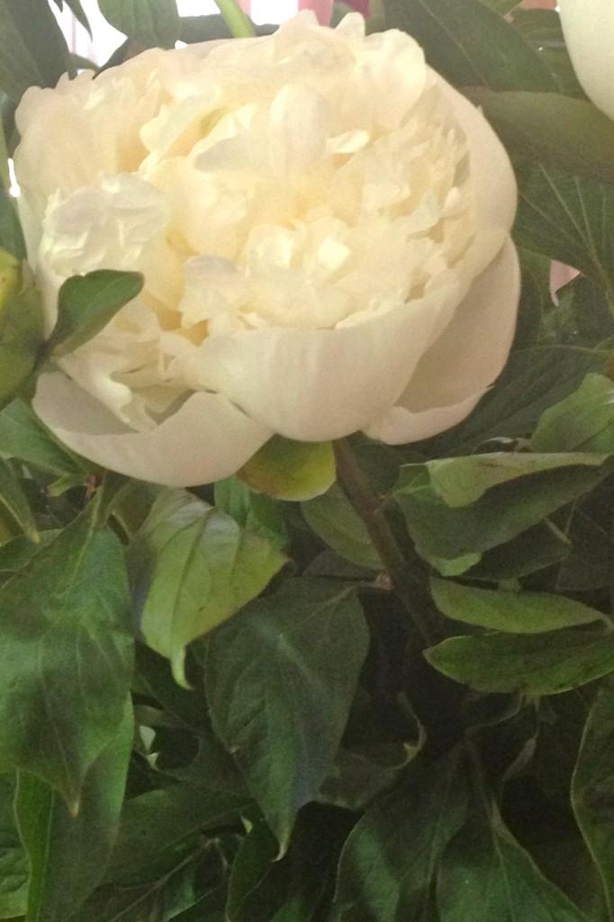 les pivoines ,mes fleurs chéries