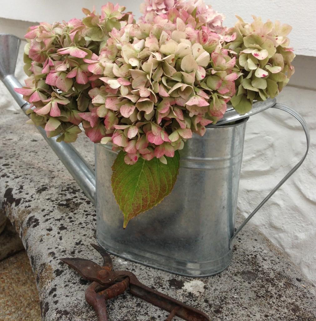 arrosoir d'hortensias